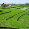 Zachwycające tarasy ryżowe Bali